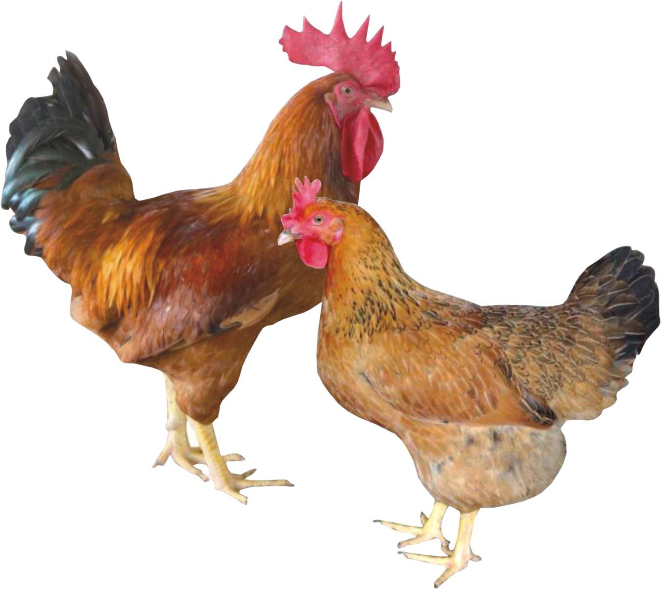 Nên đánh số mấy khi thấy gà xuất hiện trong giấc mơ của mình?